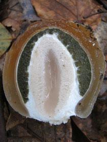 Stinkmorchel, Phallus impudicus, Hexenei, Schnitt