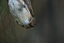 Cannareccione (Acrocephalus arundinaceus)