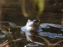 Moorfrosch   -         Foto: W. Ewert