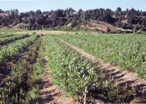 土壌が粘質で排水が悪いため、高畝にして植えつけていた。 (200年12月)
