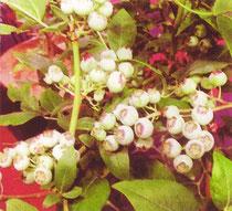 ノーザンハイブッシュ「オーロラ」(Aurora)。ミシガン州立大学育成、2003年発表。極晩生品種。2008年7月上旬、オレゴン州にて。