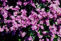 Blüten der Salzwiese