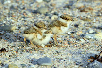 Jungen der Sandregenpfeifer