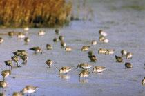 Wasservogelzählung