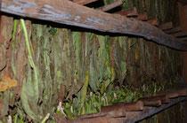 Tabakblätter im Trockenhaus.