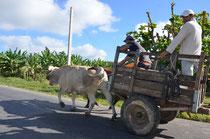 Ochsenkarren ein sehr häufiges Transportmittel.