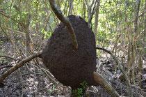 Termitenbau in Astgabel.