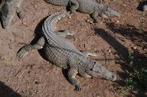 Das Kuba-Krokodil.