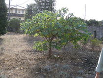 結城の語源となった穀(ゆう)の木