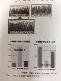 小腸絨毛の成長促進