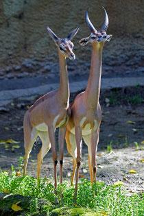 Gazzella giraffa