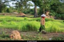 Les rizières au Cambodge