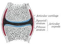 関節の構造(水色=関節・赤=関節包)