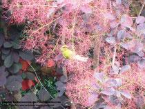 Grünfink im Perückenstrauch