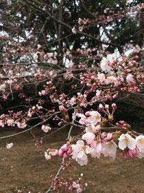 佐倉市の厚生園内のお庭の桜