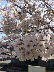 仲田町公園の桜です