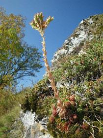 Verblühter Blühtrieb von S. globiferum subsp. globiferum, Lochen, Höhe 25 cm, in situ, 02.10.