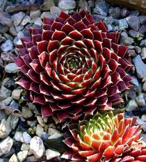 Sempervivum × nixonii 'Sandy'. Foto: Manuel Werner