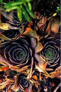 Lila gefärbte Standortform von Sempervivum tectorum, Schwäbische Alb, 18.08.2000, in situ. Foto: Manuel Werner
