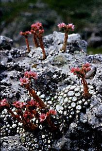 Sempervivum arachnoideum subsp. tomentosum, Gran Sasso d'Italia, Abruzzen, in situ, Foto: Mariangela Costanzo, alle Rechte vorbehalten