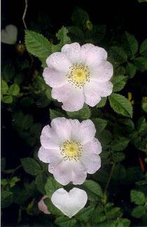 Keilblättrige Rose (Rosa elliptica), 06.06.2002, Gewann Spitzäcker, Neckarhausen (angepflanzt)