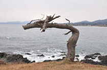 竜の形をした松の木が話題に!