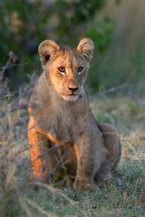 Jong leeuwtje in Botswana