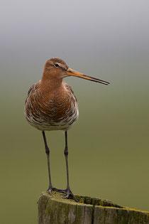 Nederlandse vogels