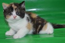 Британская кошка Коко Шанель черепахового сбелым окраса.