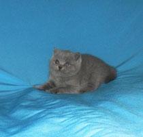 Британская кошка Лизонька