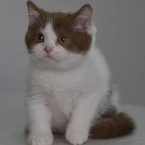 Британский кот-цинамон арлекин
