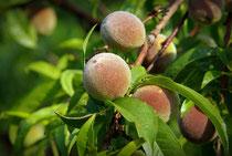 Junge Pfirsiche