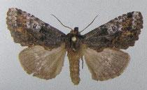 Spatalina melanopa (Schintlmeister 2007)