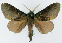 Kunugia victoriae (S. Ihle 2006)