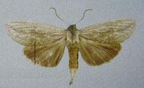 Saliocleta neogena (Schintlmeister 2007)