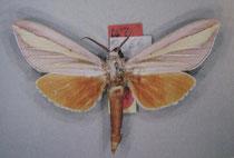 Leucophlebia pinratanai (Eitschberger 2003)