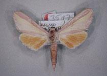 Leucophlebia frederkingi (Eitschberger 2003)