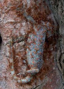 Tokeh (Gekko gecko, Linnaeus 1758) attacked by ants (Oecophylla smaragdina, Fabricius 1775)