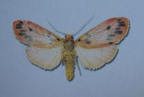 Lyclene lateritia (Cerny 2009)