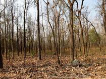 Dry lowland forest in Huai Kha Khaeng, Uthai Thani province