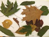 Blätter von Jakob