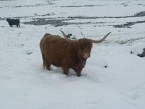 Fitzli (auf der Alp im Schnee)
