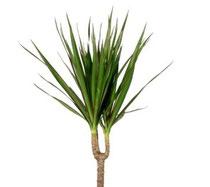 Le Dracaena - Classement des 10 plantes les plus résistantes par Garden & the City