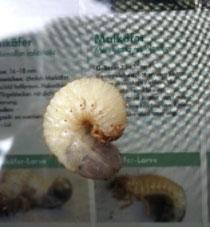 Maikäferlarve (vermutlich) aus dem ÖBG Bayreuth