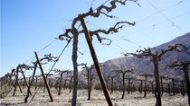 Dry vines are a sad sight in Copiapo Valley (Credit: BBC)