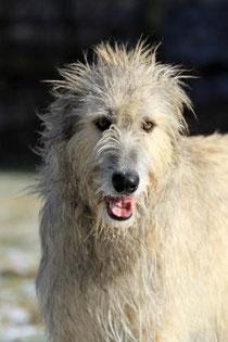 Irish Wolfhound Freya
