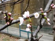 桜が開花しました(3/18)