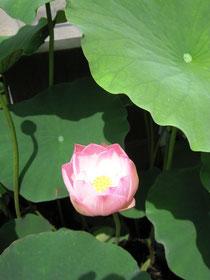 ハス開花(6月30日)