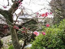 ようやく開いた梅の花