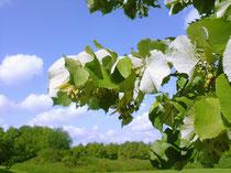 Lindenbaum: Für spagyrische Essenzen werden Pflanzen in ihre Einzelteile zerlegt und dann wieder zusammengefügt. Foto: PhotoXpress.com